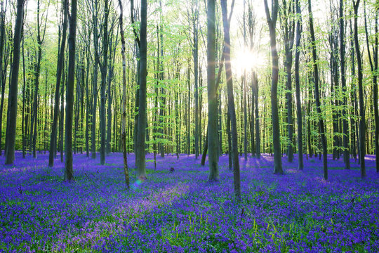 Beautiful spring forest with carpet of bluebells or wild hyacinths on a sunny day, Belgium, Halle