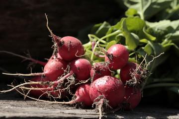 erntefrische Radieschen aus Bioanbau, Sorte Riesen von Asperen