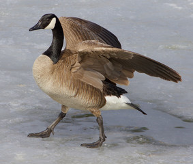 Cackling goose on the ice