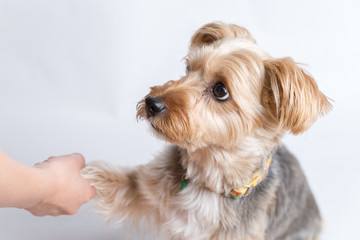 Yorkshire Terrier Giving Paw
