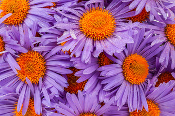 background of purple daisies