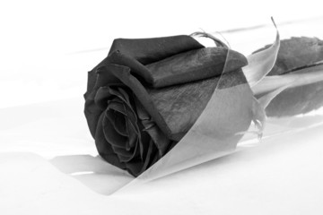 Scarlet, black and white rose