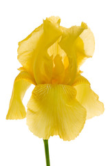 Garden Poster Narcissus yellow iris isolated on the white background