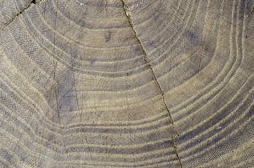 Texture in the wood of a tree elm, abstract.