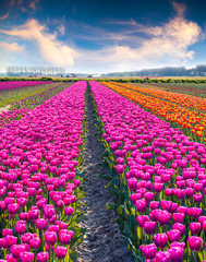 Foto op Canvas Tulp Agricultural processing tulip flowers on the farm near the Rutte