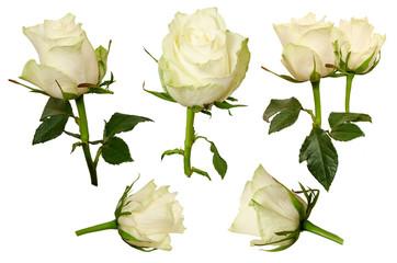 Set Beautiful roses isolated on white background