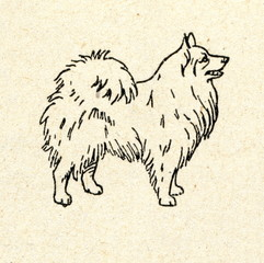 Spitz-type dog