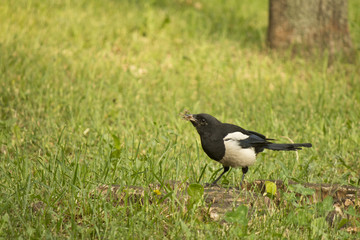 Magpie with prey in its beak on a green lawn