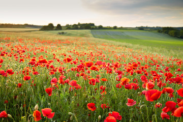 Wunderfull poppy field