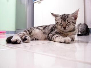 Image of Kitten Sleeping, Image of American Shorthair