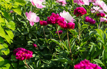 Green Shrub Covered in Pink Flowers
