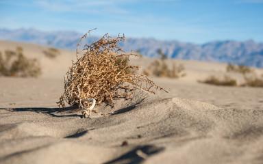 Sagebrush in Desert Sand