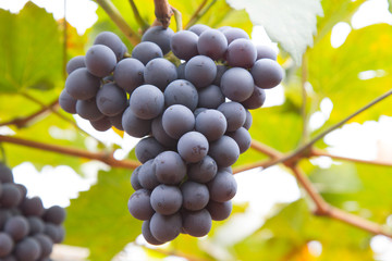 Large bunch of red wine grapes hang from a vine, warm. Ripe grapes with green leaves. Natural background with Vineyard. Wine concept