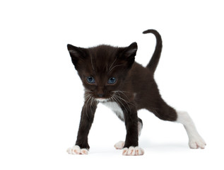 Cute Black Chocolate Kitten on White