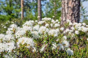 The blossoming Labrador tea in the solar summer wood