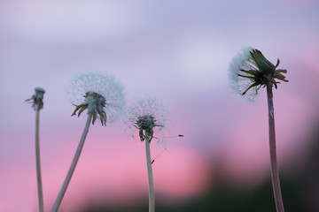 Overblown dandelions with seeds in sunset colors