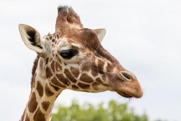 Close up of a Giraffe