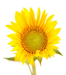 Yellow sunflowers, close up, isolated, bouquet, floral arrangement