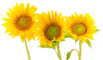 Yellow sunflowers, bouquet, isolated, floral arrangement