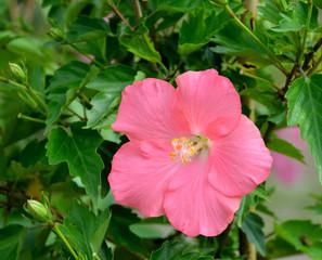 Vibrant Hibiscus Flower