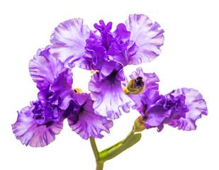 Blooming iris flower