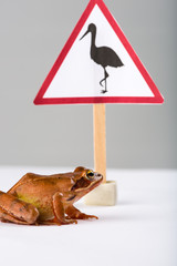 """Spring Frog (Rana dalmatina) passing a sign """"Beware of storks"""""""