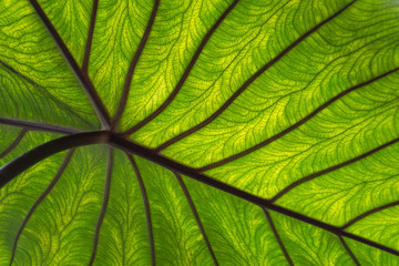Photo sur Plexiglas Nature Close-up groen blad met nerven
