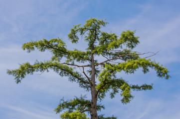Branches of Arizona cypress over the blue sky