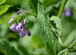 The blossoming comfrey medicinal (Symphytum officinale L.)