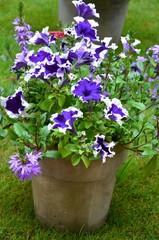 Blumentopf aus Ton mit Petunien bepflanzt in Blüte