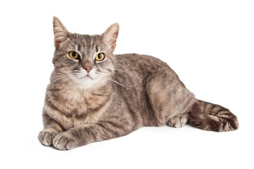 Gorgeous Domestic Shorthair Tabby Cat Laying