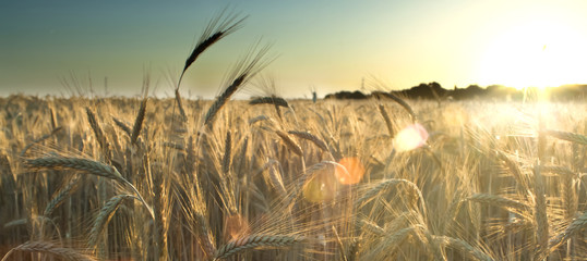 Photo sur Toile Sauvage Wheat field on the sunrise of a sunny day