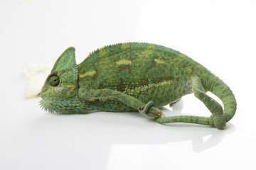 Chameleon in a studio (background, white, wallpaper)