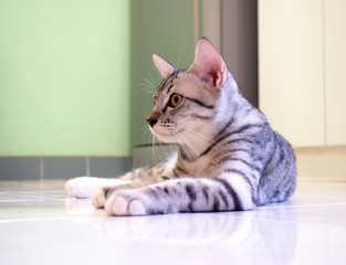Image of Kitten lying and post, Image of American Shorthair