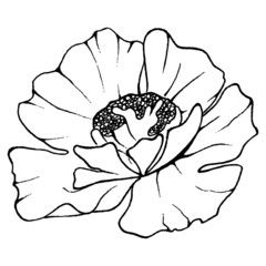 Watercolor monochrome sketch poppy isolated