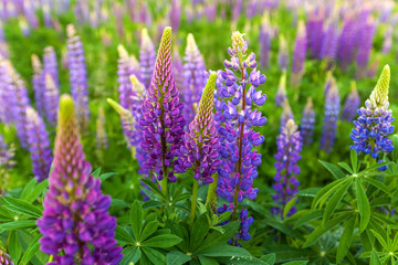 Lupin Flower, Garden Lupin, , pink, garden, wild, purple, bloom, colorful, nature, field, lupin, summer, background, spring, blooming, wildflowers, green