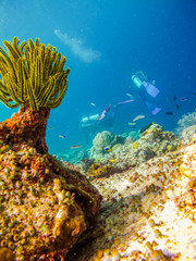 Divers at the corals