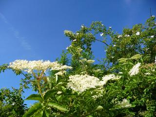 Blühender Holunder und Wildrose - Sambucus