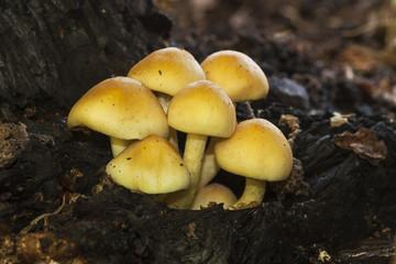 Hypholoma s.p.  growing on a dead log