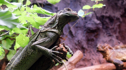 Foto auf Leinwand Chamaleon jaszczurka, kameleon
