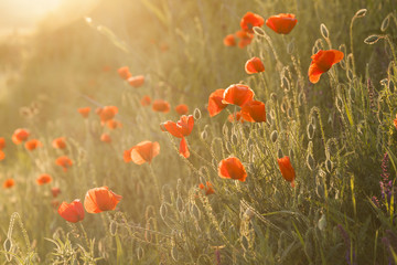 Poppies in the sunset light