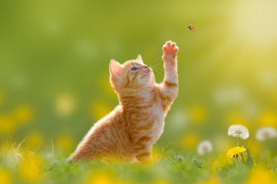 Junge Katze/Kätzchen jagd einen Marienkäfer