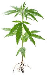 Wild Cannabis plant.