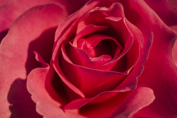 A close-up of red roses.