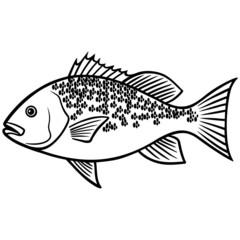 Red Snapper Fish illustration