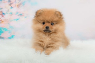 Cute fuzzy pomeranian puppy lying in front of a romantic background facing the camera
