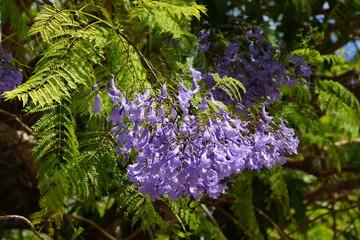 Palisanderholzbaum  Bilder und Videos suchen: palisanderholzbaum
