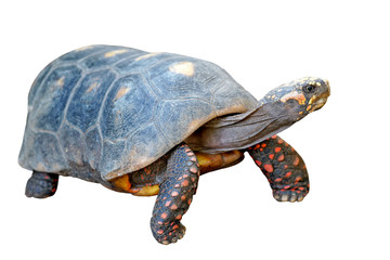 redfoot tortoise on white background