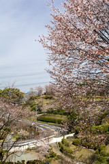 山桜の花と道路
