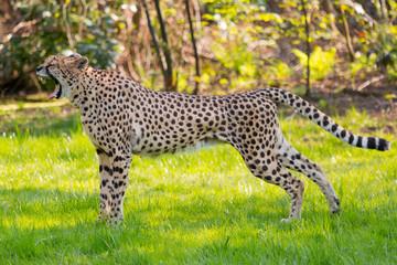 Yawning  Cheetah in the savannah